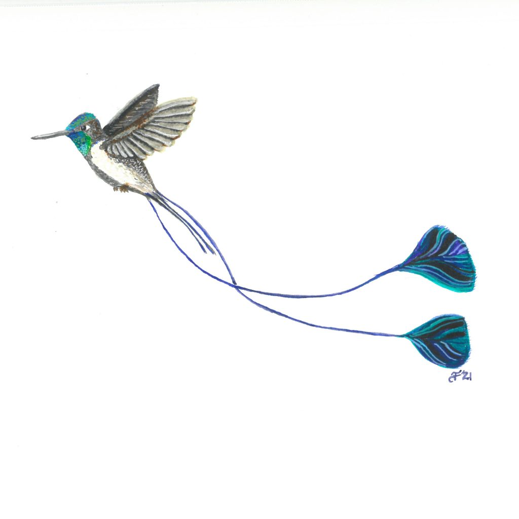drawing of male Marvelous Spatuletail Hummingbird with two VERY long tail feathers